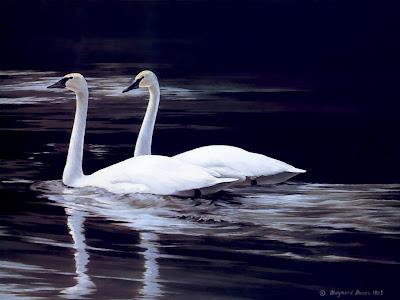 pareja-de-cisnes-blancos-sobre-el-agua