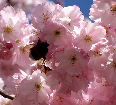 In Terms of Colour Animated pink Cherry Blossoms