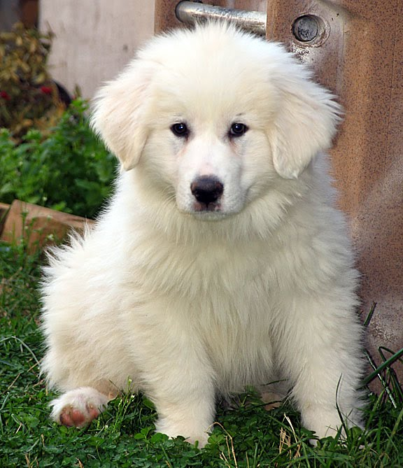 SOS - Tori the pyr puppy needs emergency surgery to save her life