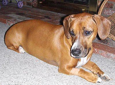 the long and short of it all a dachshund dog news magazine putzi