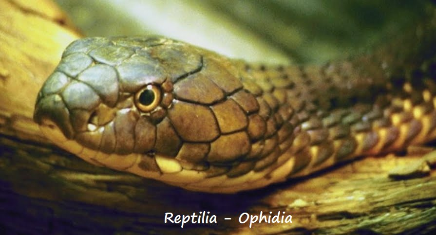 Ophidia Penyu Cangkang