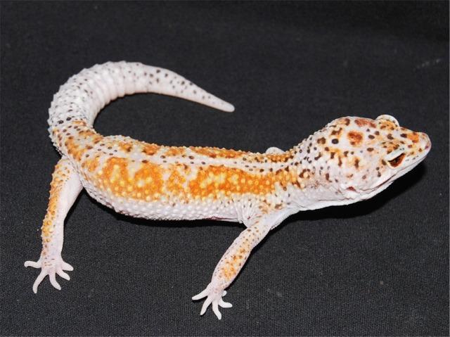 Cute Leopard Gecko Wallpaper Blue Leopard Gecko Morphs