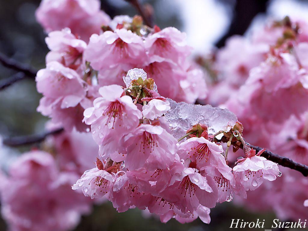 Falling Cherry Blossom Wallpaper Hd Y 202 N ThỦy SƠn Trang H 204 Nh Ảnh Hoa Anh Đ 192 O