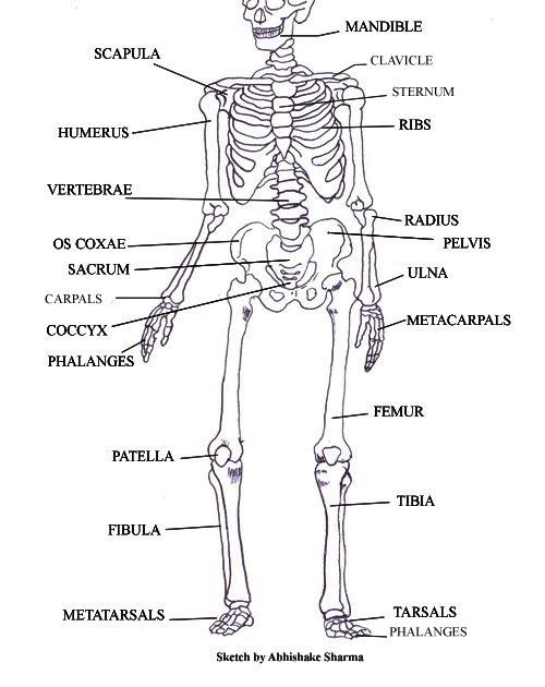 diagram of cougars
