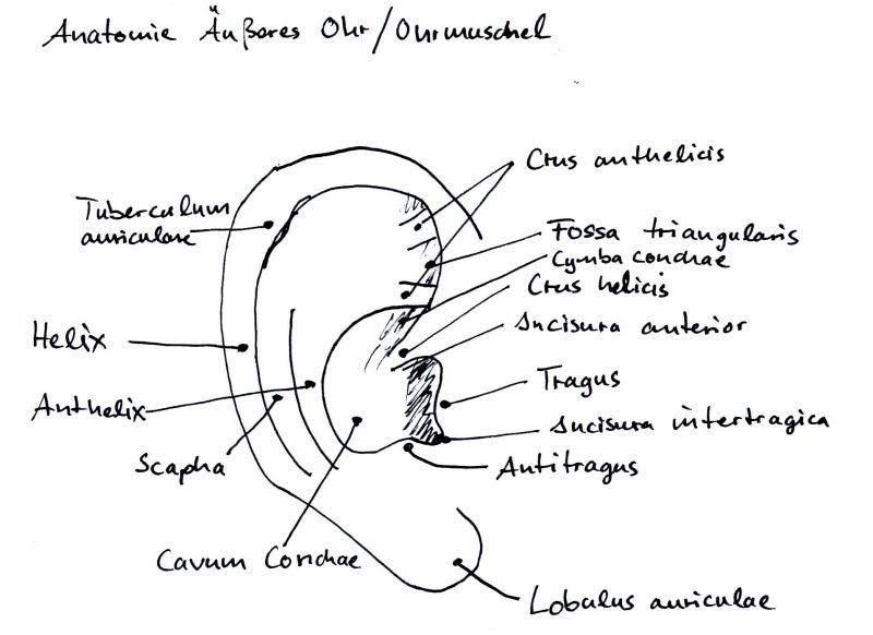 geh rschutz nachrichten teil 3 anatomie der ohrmuschel auricula auris. Black Bedroom Furniture Sets. Home Design Ideas