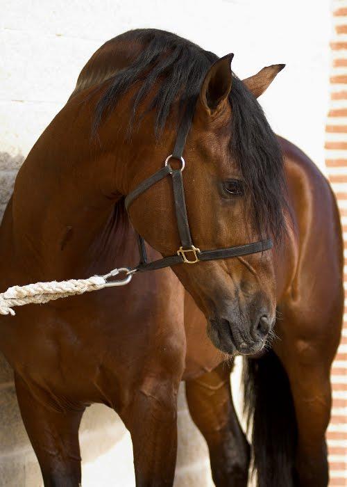 MUNDO DEL CABALLO CRIOLLO COLOMBIANO  El caballo criollo