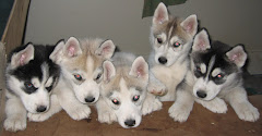 Prince and Laska's Puppies