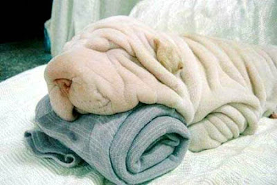 wrinkles of shar pei, shar pei dogs, wrinkle dogs, wrinkle dog lovers, wrinkle dog lover, dog photograph, dog picture, dog wallpaper, mystery about dogs, mystery about shar pei dogs, wrinkles of shar pei, shar pei dogs, wrinkle dogs, wrinkle dog lovers, wrinkle dog lover, dog photograph, dog picture, dog wallpaper, mystery about dogs, mystery about shar pei dogs