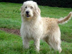 obama dog obama, dog for obama daughter, labradoodle dog obama, Portuguese Water Dog for obama, labradoodle dog, dog in news, hypoallergenic dog for obama labradoodle dogs obama, dogs obama, dog lover, dog facts, dog news, obama dog obama, dog for obama daughter, labradoodle dog obama, Portuguese Water Dog for obama, dog lover, dog facts, dog news