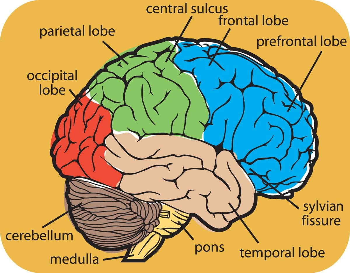 Labeled Diagrams Human Brain Thalamus