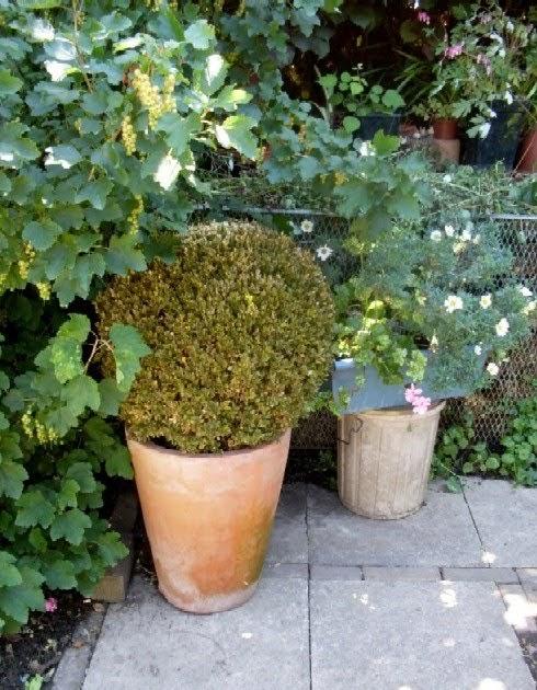 garten anders das drama mit dem buchsbaum in t pfen. Black Bedroom Furniture Sets. Home Design Ideas