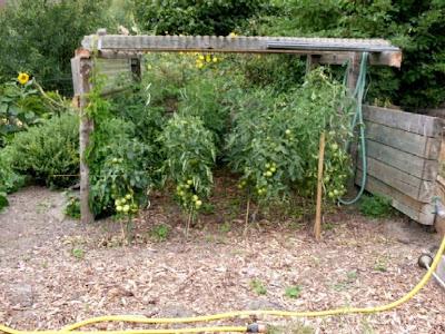 garten anders ende august tomaten brauchen ein dach krautf ule braunf ule und anderes. Black Bedroom Furniture Sets. Home Design Ideas