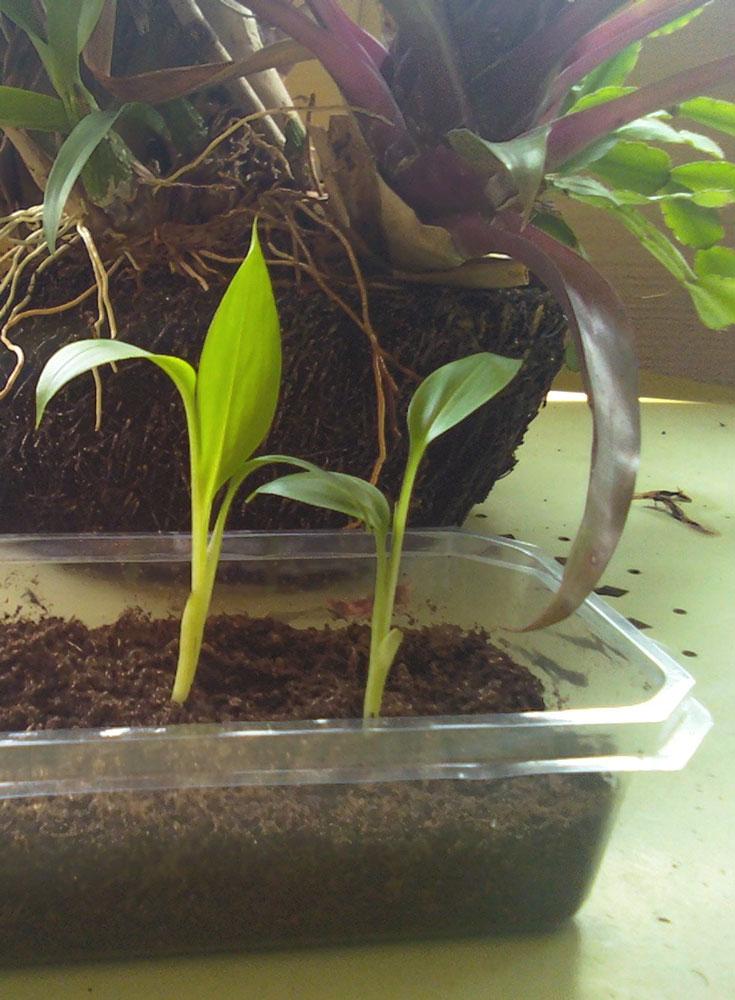 The Rainforest Garden Radicalis Palm Dragonfruit And