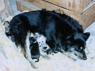 Motsy and 1 day old puppies Eagles Cliff  Washington Sept 1998