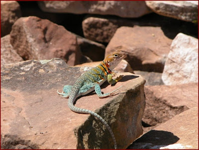 Collared lizard Mesa Verde National Park Colorado