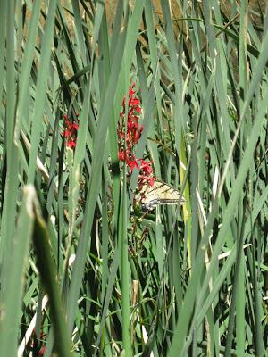 Swallowtail butterfly along Virgin River Zion National Park Utah