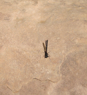 Dragonfly North Kaibab trail Grand Canyon National Park Arizona