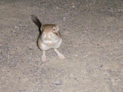 Kangaroo Rat Death Valley National Park California