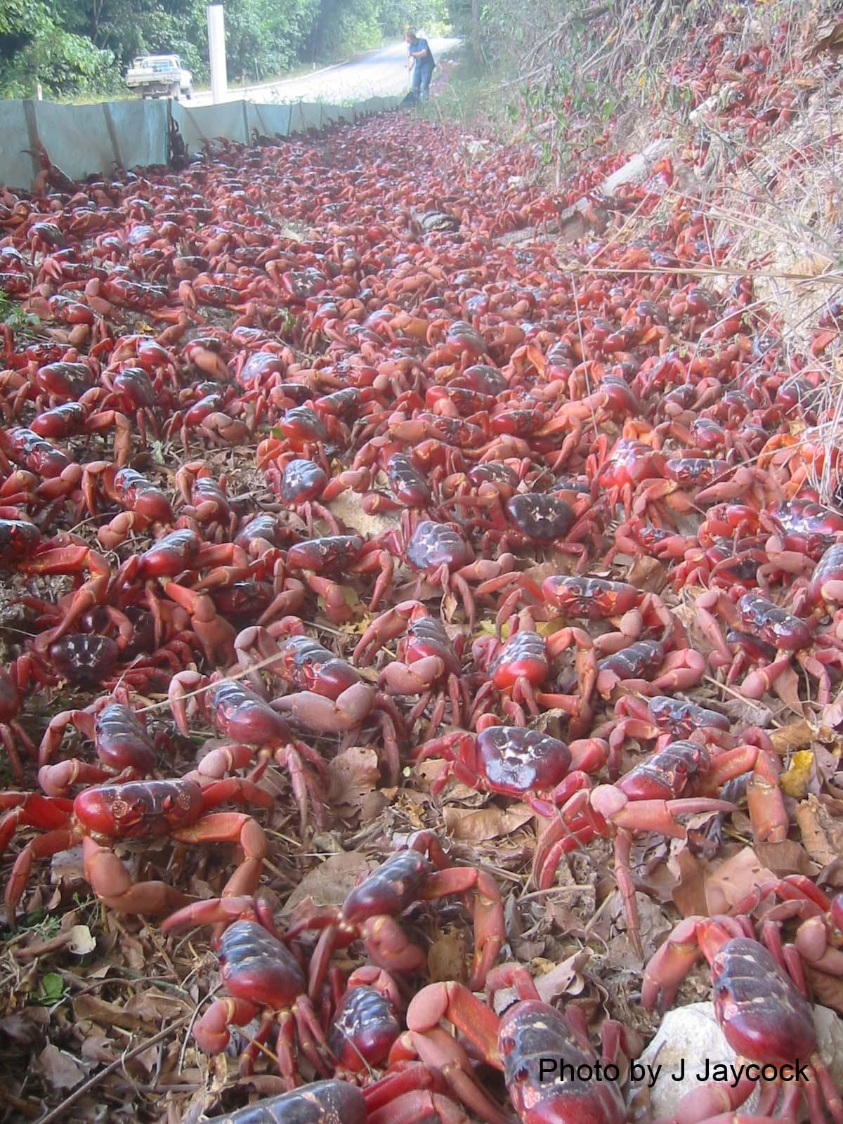 Snow Crab Love: Merry Christmas!
