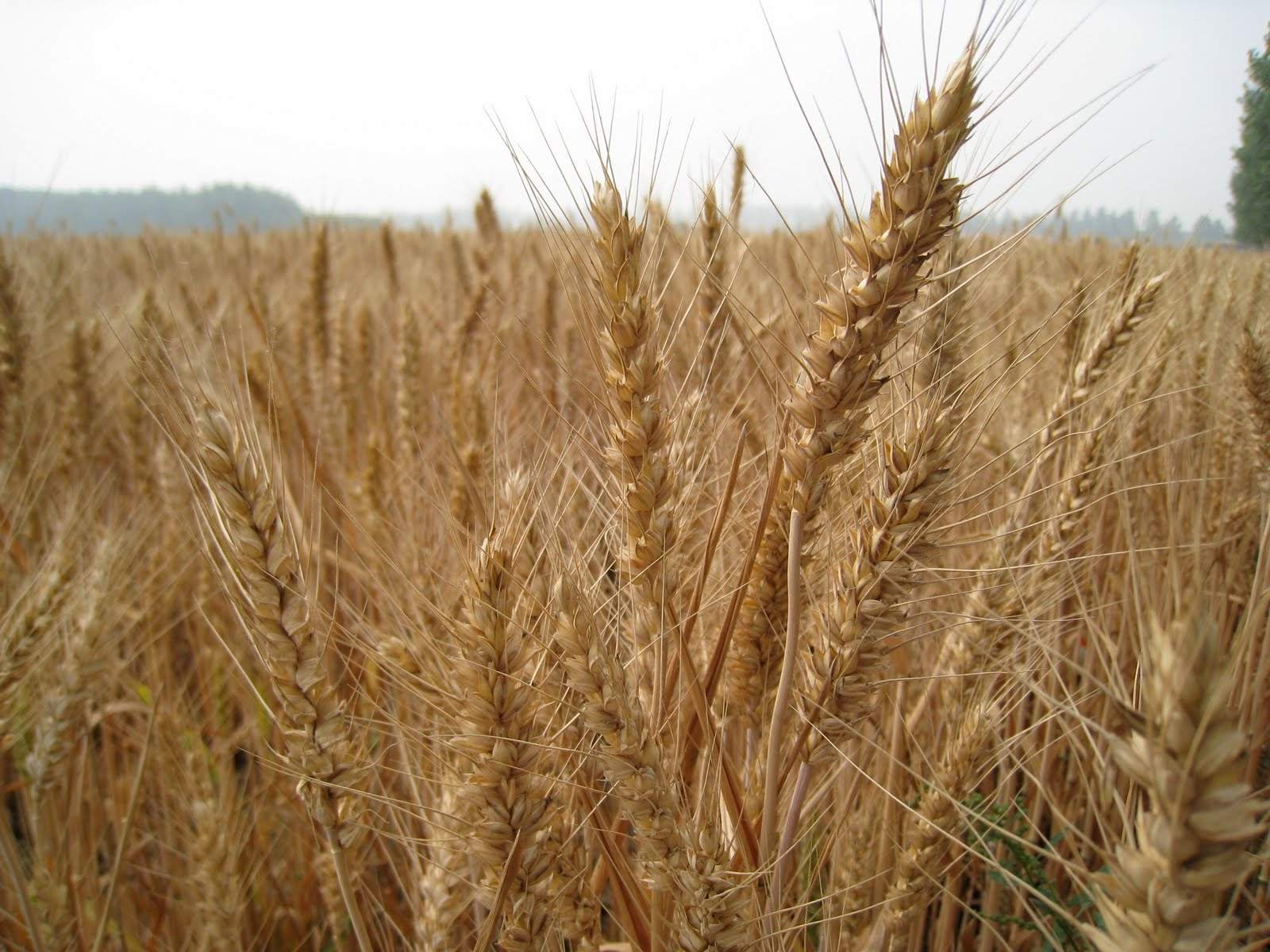 Life In The Middle Kingdom Amber Waves Of Grain