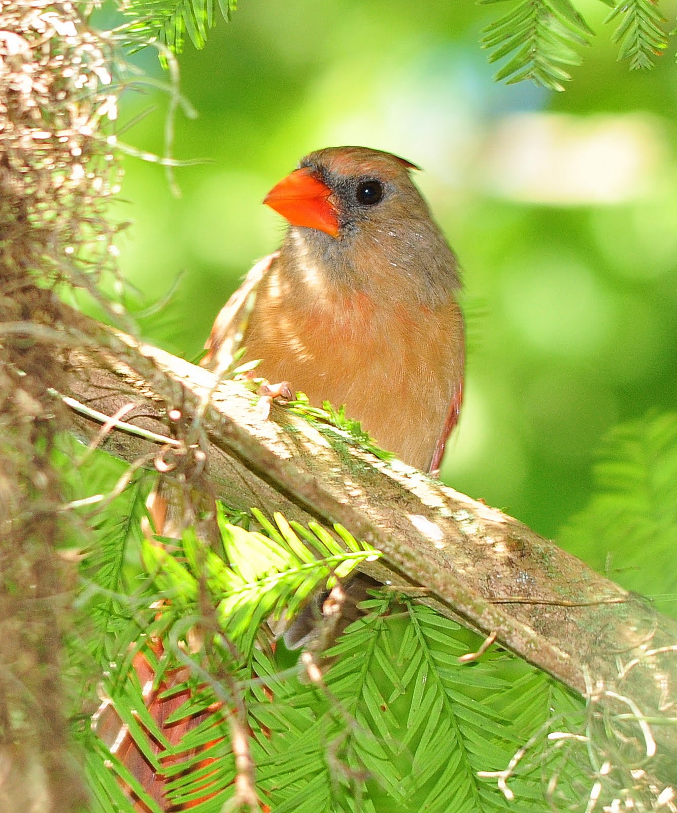 what does a baby female cardinal look like