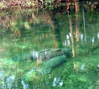 Manatees enjoying the warm water