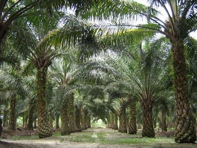 tanah untuk dijual ladang kelapa sawit al fahani. Black Bedroom Furniture Sets. Home Design Ideas