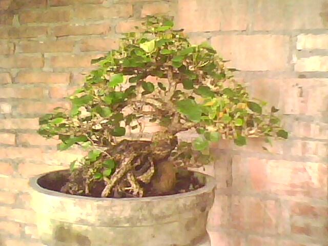 Bonsai Demak Grove Master