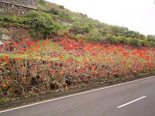 poinsettia plants along the highway
