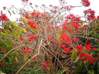 tall poinsettia bush