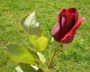 Uma Rosa Para Ti