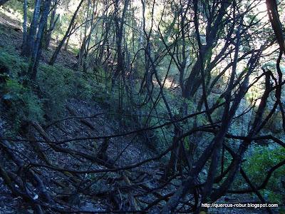 Lianas en el arroyo del Cerro Viejo