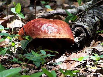 Hongo tinto en el bosque de encino