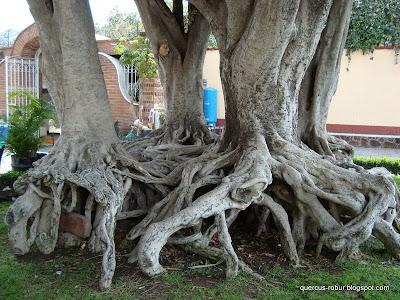 Ficus en el atrio de la parroquia de Jocotepec