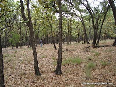 En la meseta, bosque de pino y encino