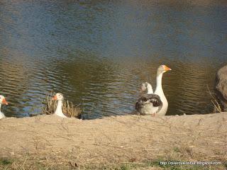 Aves en los lagos, Milpillas