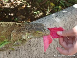 La iguana comiendo flores