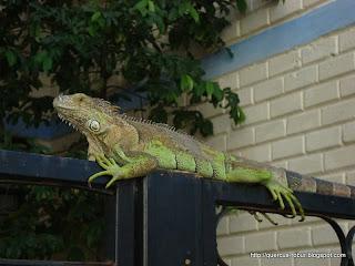 Lechuga, la iguana en el barandal del jardín