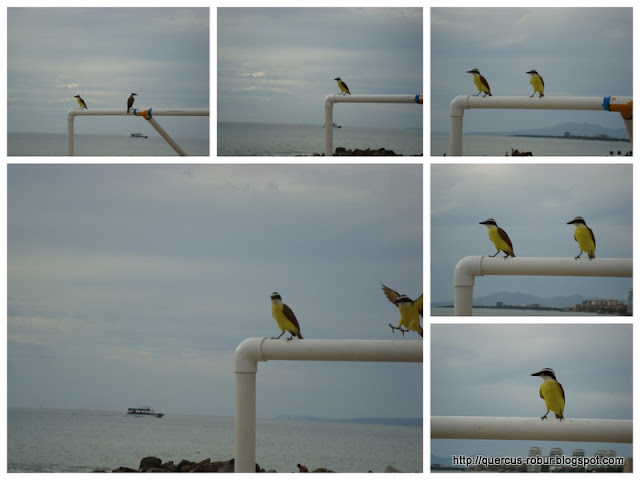 Yellow bird... en Vallarta! No que en BLP?