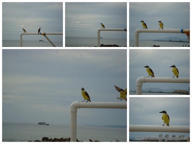 Yellow bird... en Vallarta! No que en BLP?