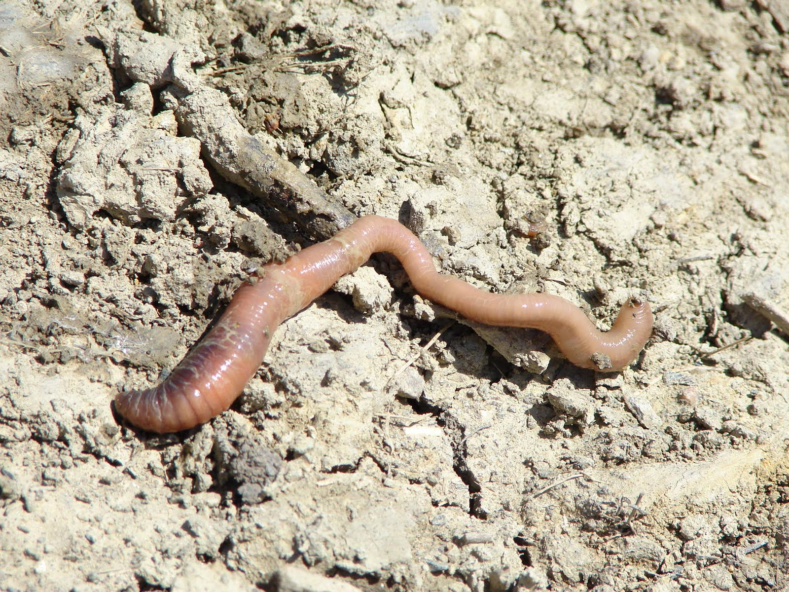 earthworms - photo #11