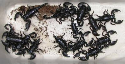 New Way   for new generation  : Scorpion Babies for sale