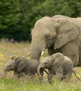 L'enganyifa de la resposta és que l'elefanta no sabia comptar ja que mai havia anat a escola!!!!