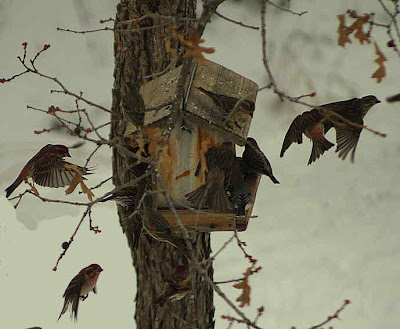 Cassin's and house finches mob the seed feeder. Photo by Chas S. Clifton