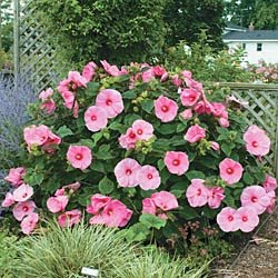 Hardy Hibiscus For Your Summer Garden