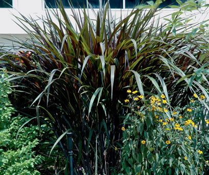 Fountain grasses a stand out for Large garden grasses
