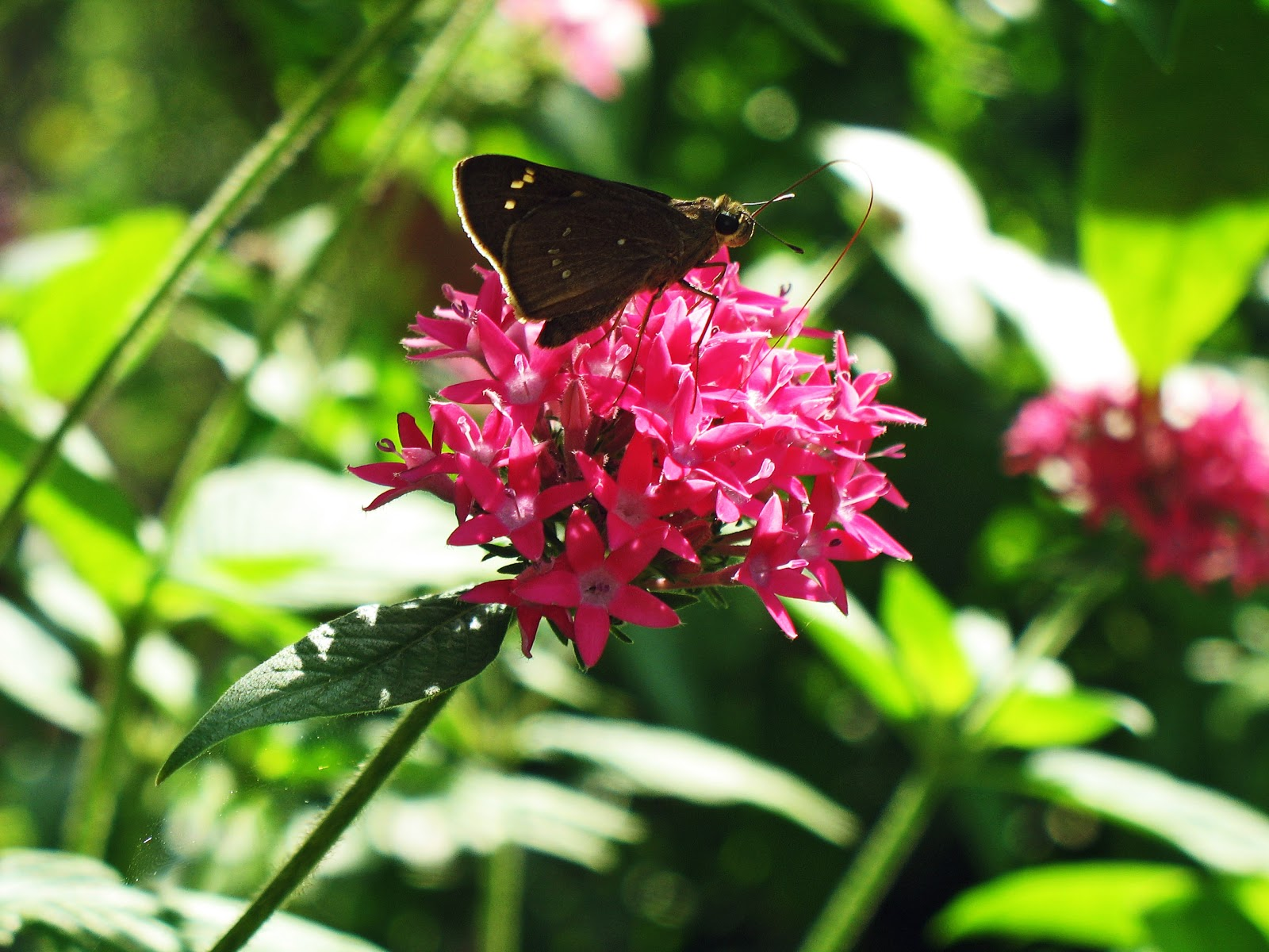 Stock Pictures: Brown butterfly on small pink flowers