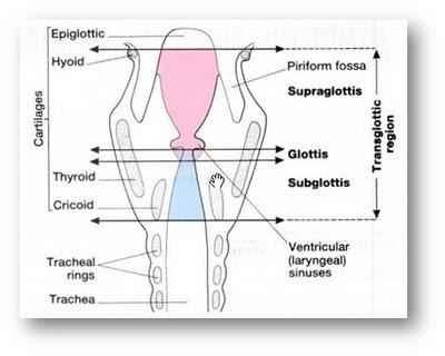 anatomi-laring