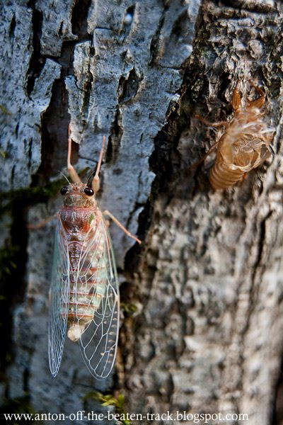 cicada and molted husk macro image