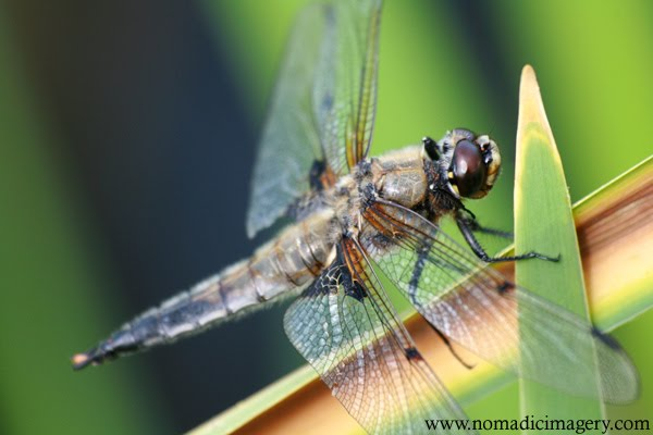 four spotted chaser dragonfly close-up image